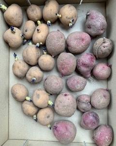 秋ジャガイモの種芋を植え付け《2021年9月》