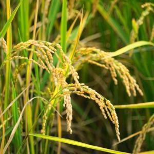 659:【末期癌と自然免疫の強化】「LPS」摂取には穀類は金芽米や玄米を選ぶ