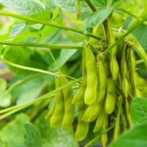 660:【末期癌と自然免疫の強化】「LPS」摂取には豆類は枝豆、種実類も効果大