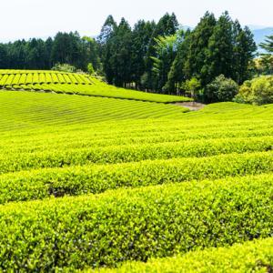 663:【末期癌と自然免疫の強化】おやつには葛や天草、不発酵茶を