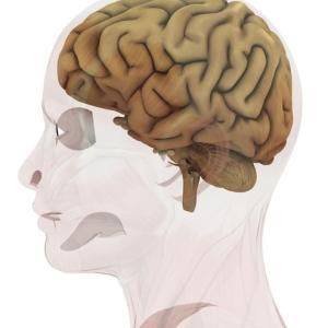 893:AIMタンパク質が脳梗塞治療に効果!ネコ腎臓病薬、人間の病気にも活用へ