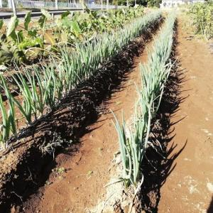 ネギの収穫。