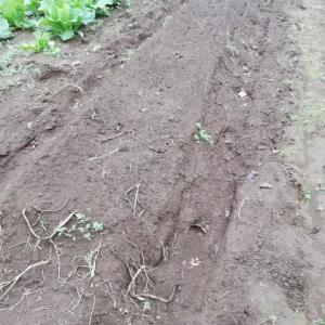 里芋掘り。