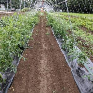 ソバージュ栽培ミニトマトの枝押さえ。