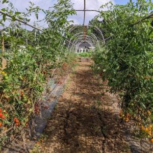 今年のソバージュ栽培ミニトマトは無残な状態。