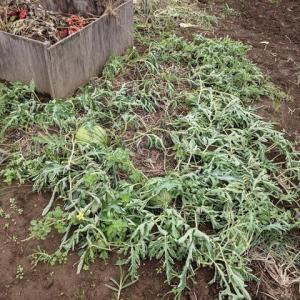 昨年のこぼれ種から育った小玉スイカ。