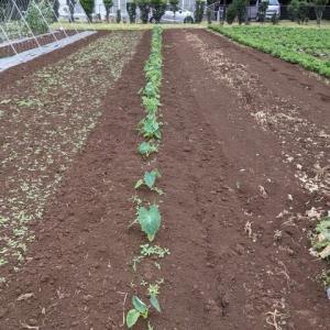 里芋の除草。