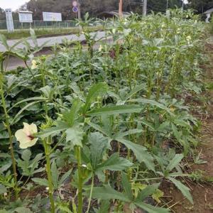 暑さが戻って収穫量が復活。