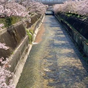 桜が、、。