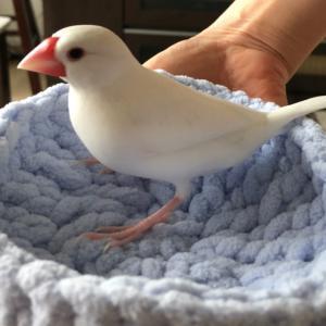白文鳥の換羽