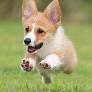 【公式】犬の年齢を人間に換算するには…「16×loge(犬の年齢)+31=人間に換算した年齢」