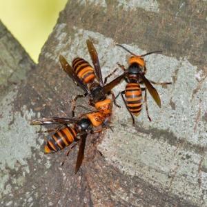 【新発売)「スズメバチ巣駆除剤」が物議…「生態系壊す危険もある」の声