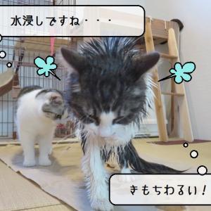 猫雑記 ~相変わらず洗われてしまう暴れん坊猫様てん~