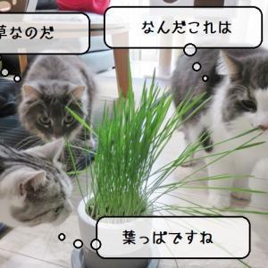 猫雑記 ~植物を枯らしてしまう飼い主が育てた猫草と猫様達~