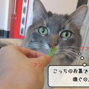 猫雑記 ~またたびの葉っぱ検証・孤高の猫様むく編~