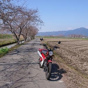ハンターカブと桜♪