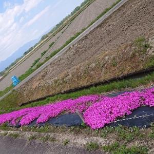 カブと芝桜♪