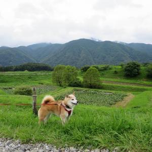 八ヶ岳界隈の不動産事情、井戸尻史跡公園の大賀蓮