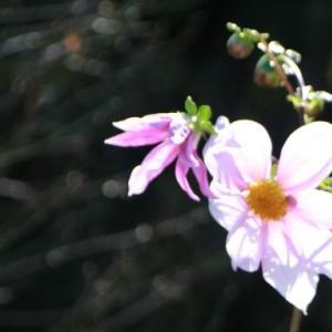 皇帝ダリアが咲きました