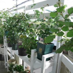 【ベランダガーデニング】花台と板壁のDIY完成!!あとはバラの開花を待つばかり