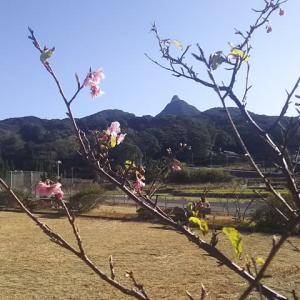 福良パークの河津桜