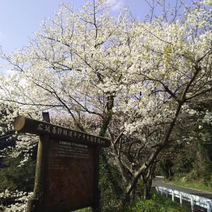 敷佐地区の桜