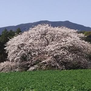 満開の慈眼桜
