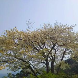 野子地区の一本桜