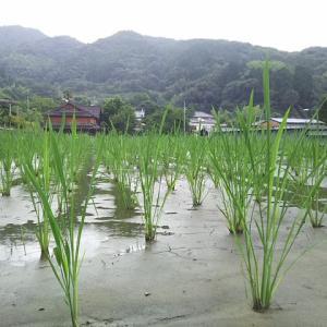 佐賀基山のマコモタケ