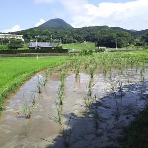 梅雨あけしたマコモタケ田圃