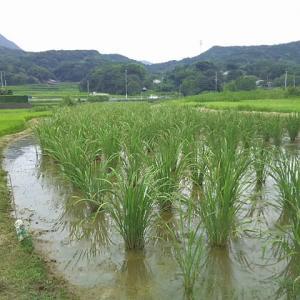 台風接近中のマコモタケ田圃