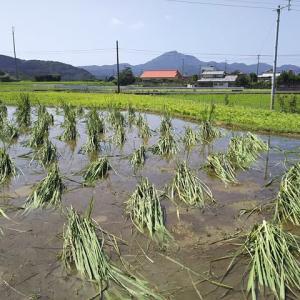 台風後のマコモタケ