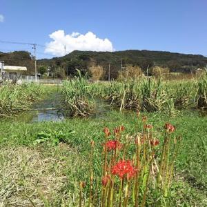 マコモタケ田圃の秋