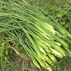 マコモタケ収穫真盛り