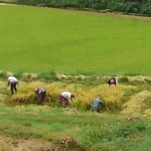 台風前の稲刈り