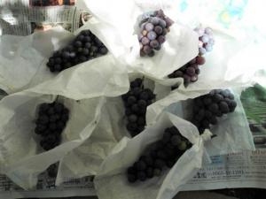 今年最後のブドウを収穫。