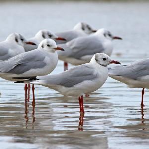 地元の海岸でユリカモメ24羽に遭遇!