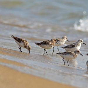 ミユビシギ&トウネンが砂浜海岸に立ち寄ってくれました!