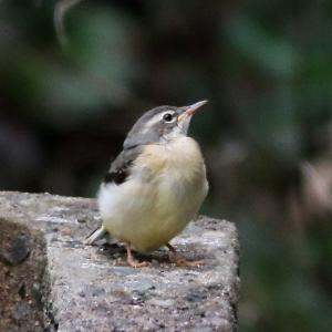 可愛い幼鳥!キセキレイ&ハクセキレイ&カイツブリ&カワラヒワ