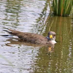 ケリ幼鳥の水遊び!