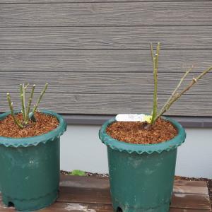 裸苗の植え付け