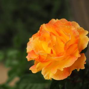 色鮮やかな秋バラ達