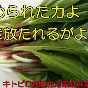家のギョウジャニンニク(おやじの恋快適化計画)