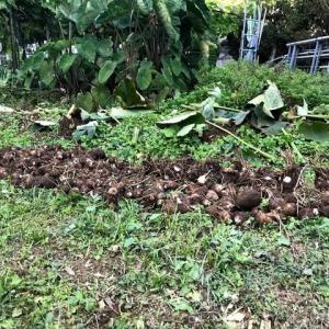 2019-11-1-里芋の収穫