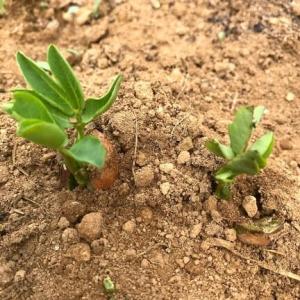 2020-5-26落花生の新芽とアヤメ