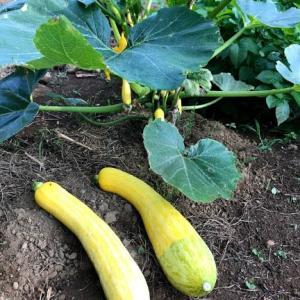 2020-6-10ズツキーニの収穫と里芋は全部芽がでる