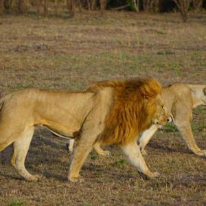 マサイマラでサファリ!珍しい動物もたくさんいたぞ!