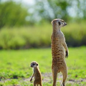こんなに近くで見れるのか!可愛すぎる野生のミーアキャットの楽園マカディカディパン国立公園
