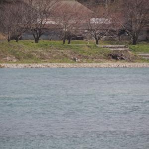 三面川3回目釣行 ウライ下流