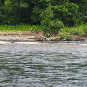 三面川最後の釣行 水明橋上流
